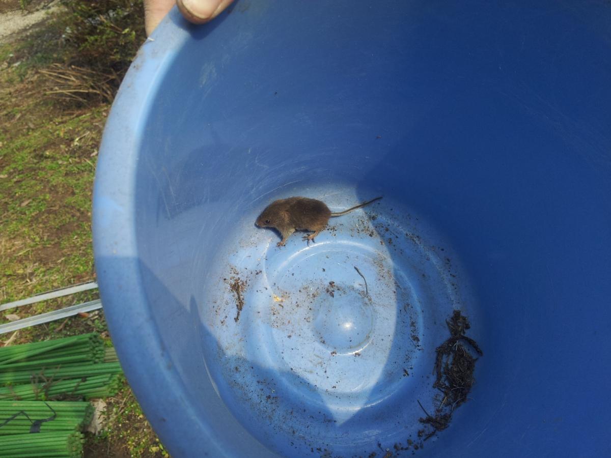 野ネズミを発見