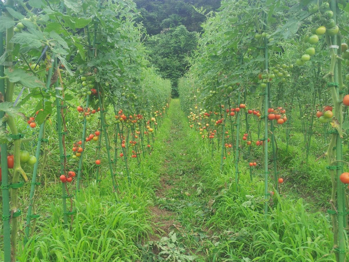 露地トマト畑の様子